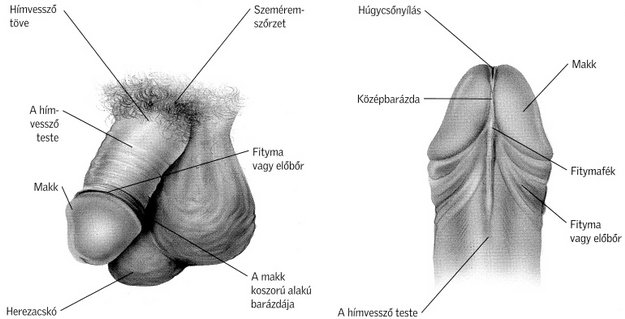 a pénisz izgatásának szakaszai)