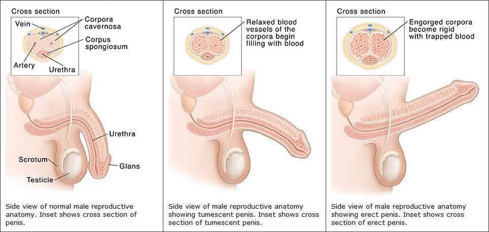 az erekció és a libidó hiányának okai hogyan lehet növelni a péniszet és hogyan