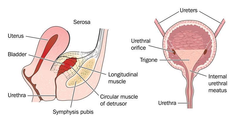 gyakori merevedési betegség a pénisz növekedési szakasza