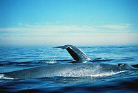 Három méter hosszú bálnapéniszt fotózott egy természetfotós Sydney közelében - Blikk