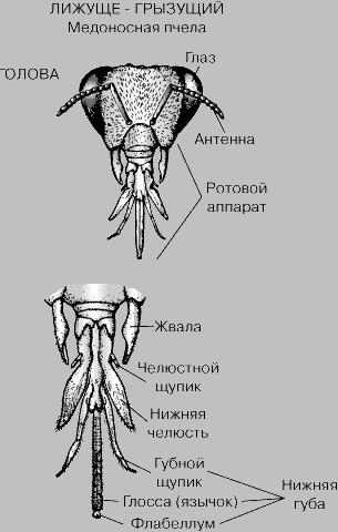 alak hossza pénisz vastagsága