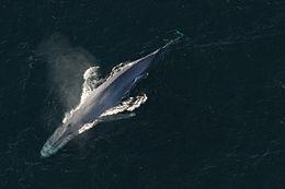legnagyobb pénisz bálnák