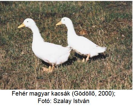 hím kakas és erekciója)