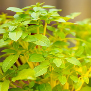 gyógynövény a növényi péniszhez