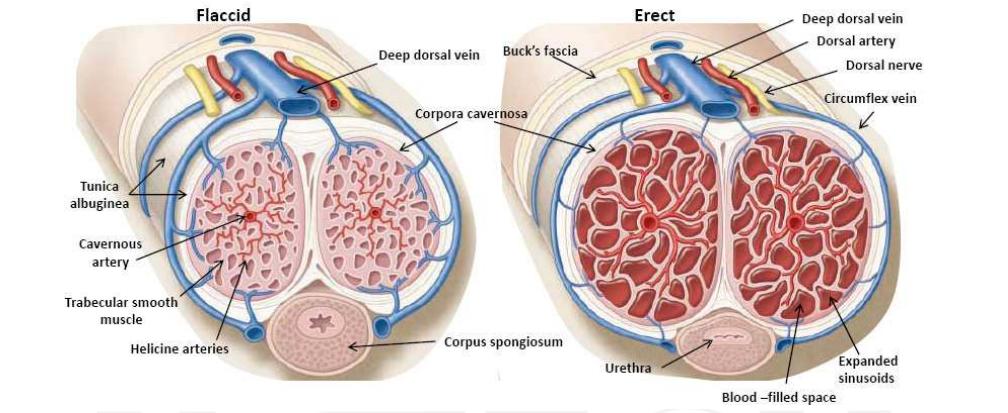 az erekció hormonális mechanizmusa