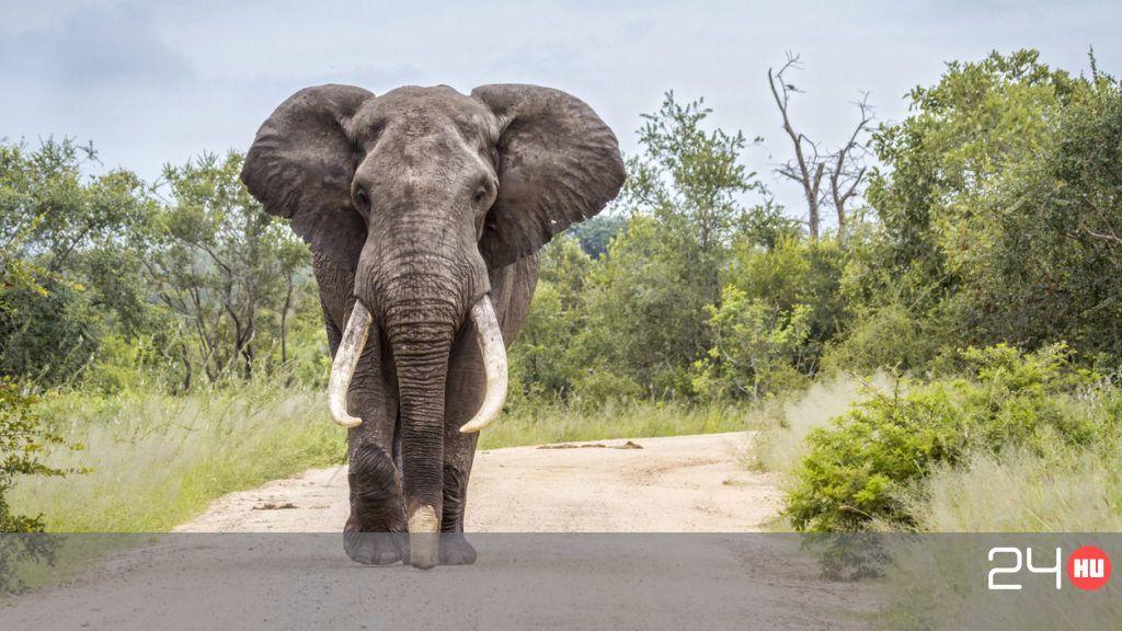 Botswanában folytatódik az elefántok mészárlása