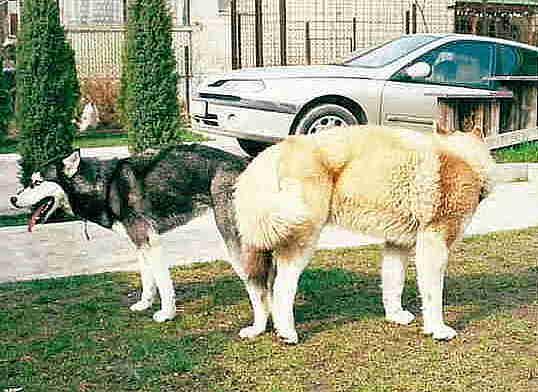 merevedés egy kutyában