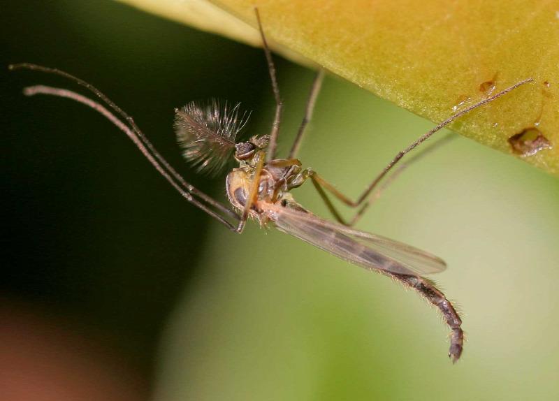 rovarok pénisz)