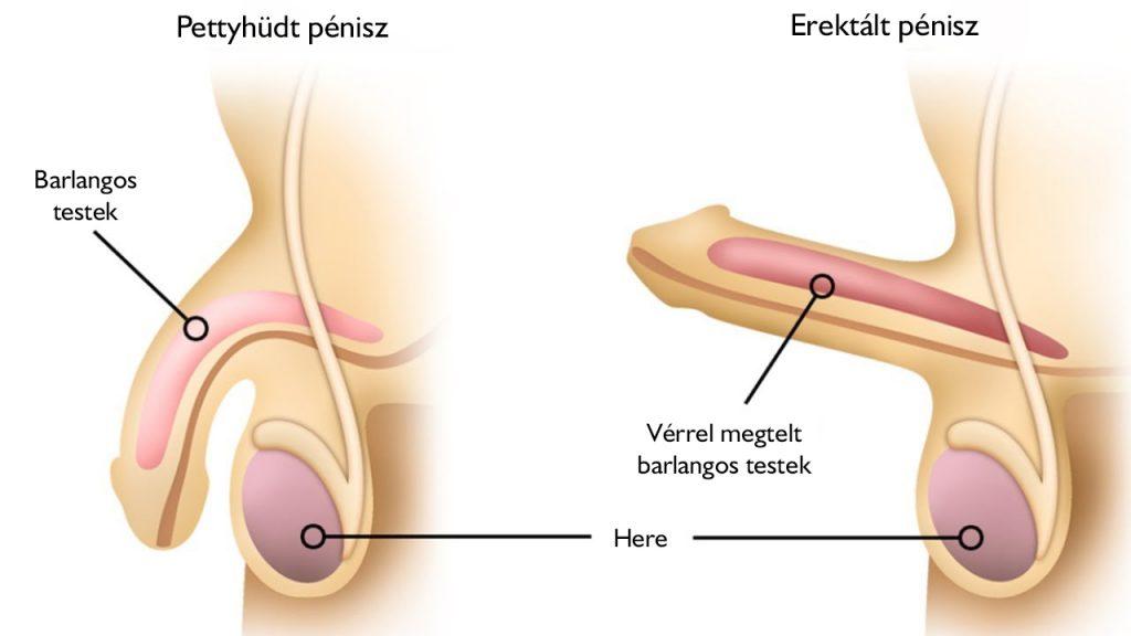 típusú pénisz az erekció során)