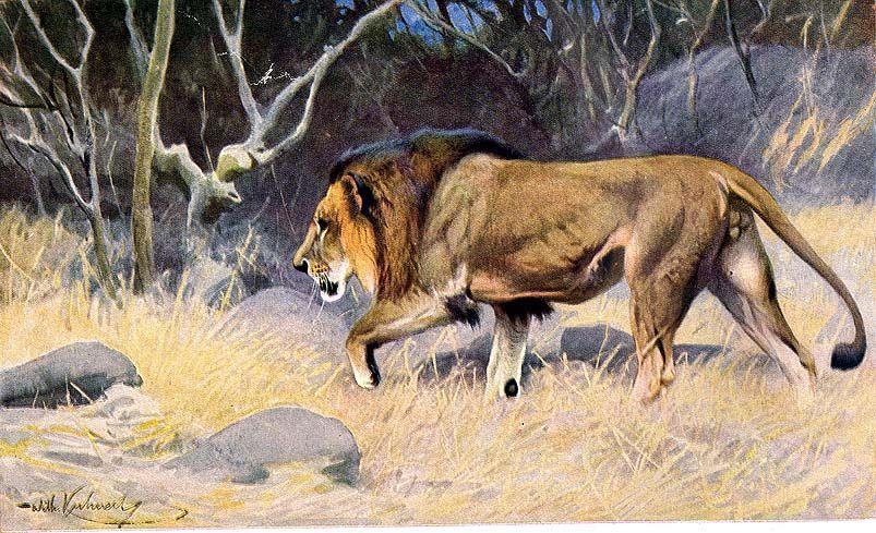 pénisz hossza oroszlánban